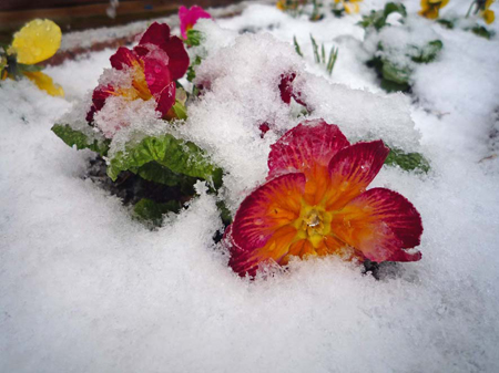 Flowers-in-the-snow.jpg