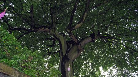 beech-tree-ch.jpg