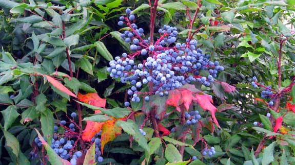 blau-berries-530.jpg