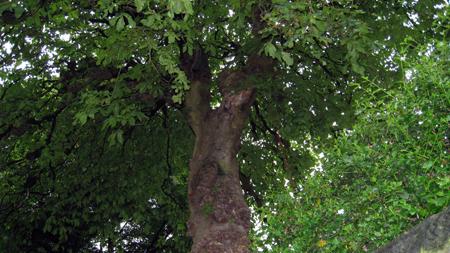 conker-tree-ch.jpg